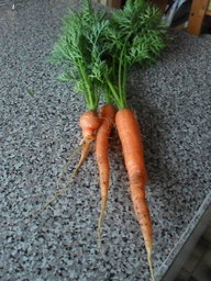 After 4 years of fighting carrot root fly we have a carrot crop at last!!! (Helen & Niall plot 15)