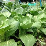 This is a picture of my pak choi grown from seed using my secret formular...(Scott plot 12)