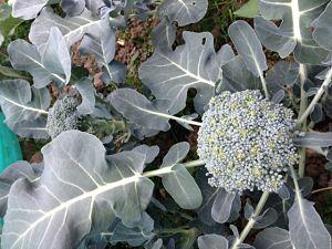 Great broccoli! (Scott plot 12)