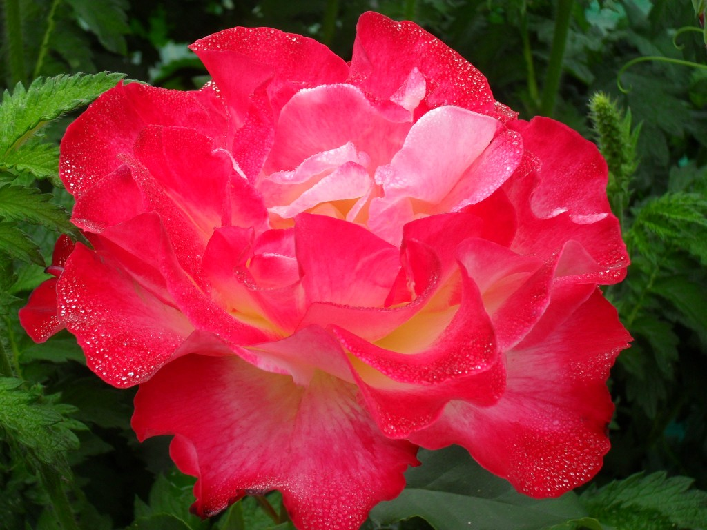 Even the rose on my plot has done well this year - anyone know what variety this is?? Helen Plot 15