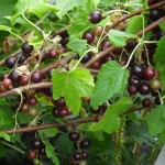 The crop of berries has been brilliant this year - the blackcurrant bush was weighed down with berries (Helen plot 15)