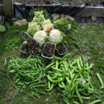Summer 2013 has been a bumper year for us on the allotment (Helen plot 15)