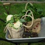 The harvest has been so good from the plot this year that we have needed a wheelbarrow to get it home (Helen plot 15)