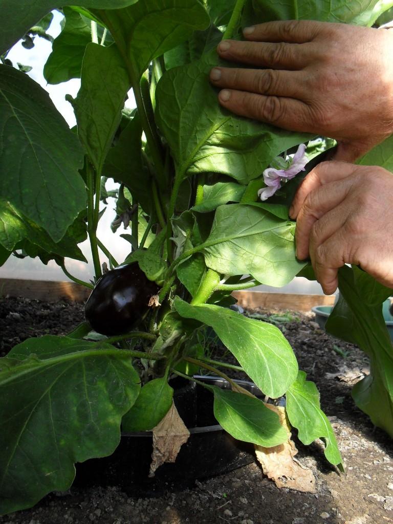 The start of John's aubergine crop (John plot 9)